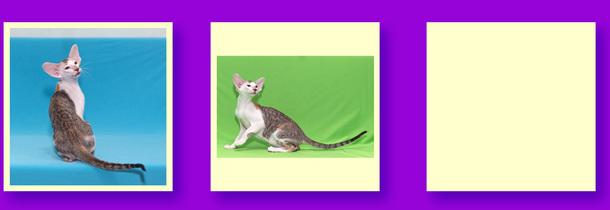 Купить ориентального котенка, ориентальные котята для выставок, ориентальные котята для разведения, ориентальные котята домашние любимцы, питомник ориентальных кошек продажа котят, ориентальные котята шоу класса, ориентальные и сиамские котята, сиамские и ориентальные котята, элитные ориентальные котята, ориентальный котенок выставочного класса, ориентальный котенок экстремального типа