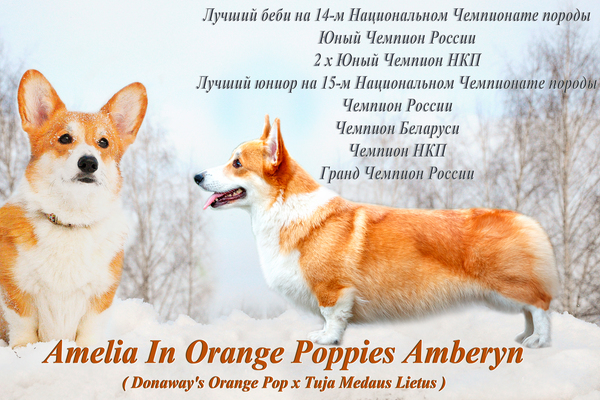 Amelia In Orange Poppies Amberyn, Лоредж, питомник Лоредж, Loredge, питомник Loredge
